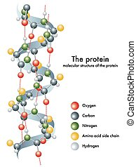 protein - medical illustration of structure of protein