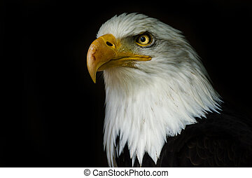 Proud american bald eagle ((Haliaeetus albicilla)