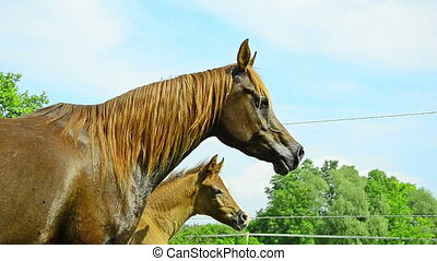 proud arabian horse mare and foal