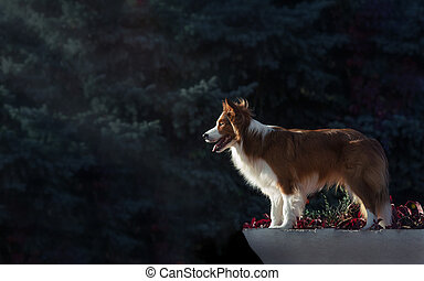 Proud border collie dog