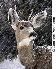 Proud Buck - Male mule deer in a Colorado snowstorm