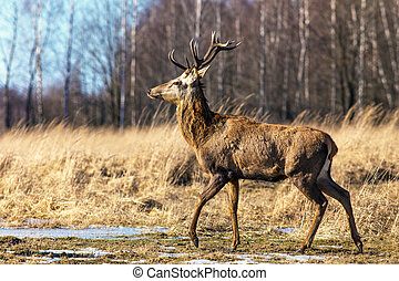 Proud deer in the forest