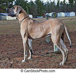 Proud dog - Big brown great Dane dog standing on a farm