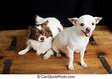 Proud Father - A soon-to-be father Chihuahua sitting beside...