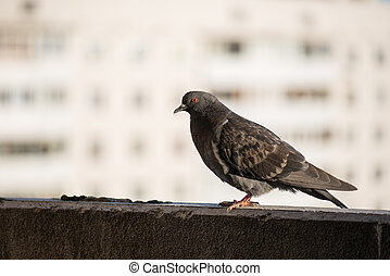 Proud gray pigeon on a balcony over blurred green street background
