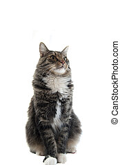Proud Kitty - A proud maine coon cat