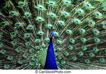 Proud Peacock - Peacock with feathers spread