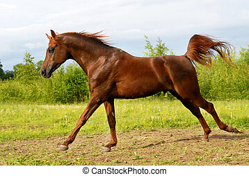 Proud red arabian horse gallop in corral