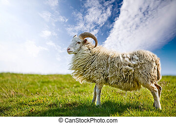 Proud Sheep - A sheep in a pasture against a blue sky with...