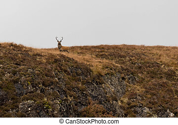 Proud Stag in Scottish Highlands - Stag Facing Camera in...