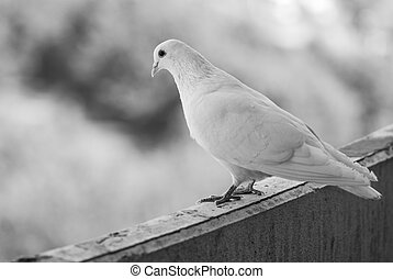 Proud white pigeon on a balcony over blurred green street background