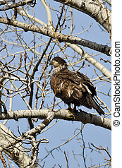 Proud Young Bald Eagle Perched in a Winter Tree