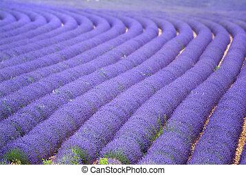 Provance, France, Europe, lavender fields