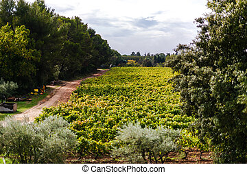 Provecale vineyards provence france