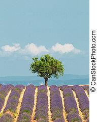 provence, árbol, campo lavanda, francia