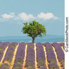 provence, baum, blaßlila feld, frankreich