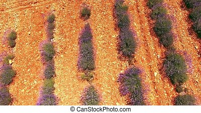 Provence in summer, laveder fields - Aerial view of lavender...