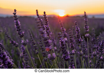 Provence, Lavender field France, Valensole Plateau, colorful field of Lavender Valensole Plateau, Provence, Southern France. Lavender field