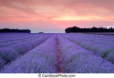 Sunset over a summer lavender field in Provence, France
