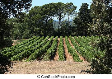 provenza, file, uva, viti