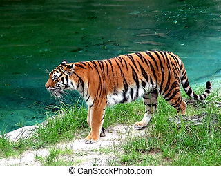 Tiger prowling shore of a lake