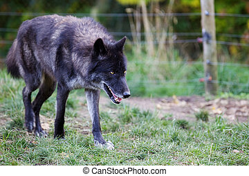 Prowling Wolf - Black and gray wolf prowling with soft focus...