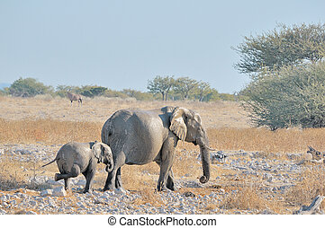 prudendo, vitello elefante, a, okaukeujo