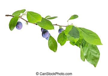 pruim, bladeren, tak, vruchten