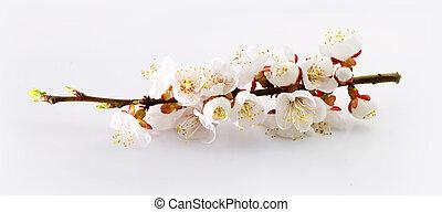 prune, fleurs, arbre