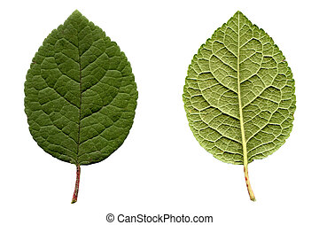 Prune leaf - Prune tree leaf - isolated over white ...