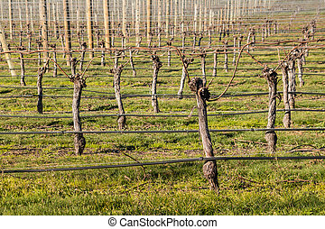 pruned grapevine trunks in vineyard