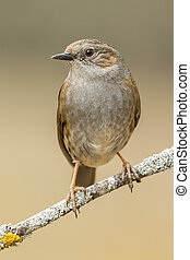 (prunella, bosque, rama, perched, modularis), dunnock