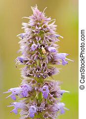 prunella, (self-heal), цветок, крупный план