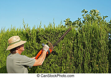 Pruning a hedge - Gardener pruning a hedge with an electric ...