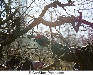 pruning apple tree in winter