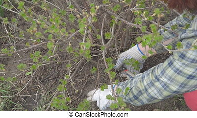 Pruning currants with secateurs - Pruning currants with...