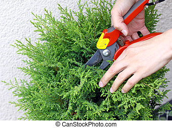 Hand holding clippers and pruning green decorative tree