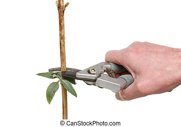 Pruning - Hand with secateurs pruning a buddleia shrub...