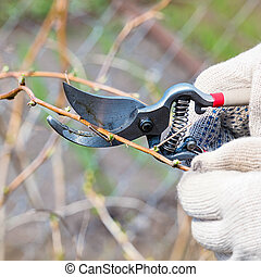 Pruning of raspberry branches in the garden