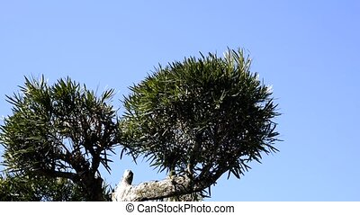 Pruning of tree - Pruning of the buddhist pine tree with...