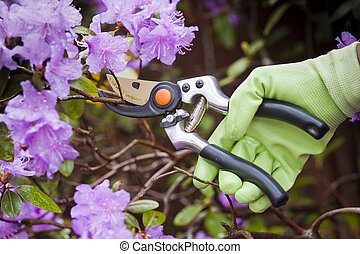 pruning shrubs with sharp pruners