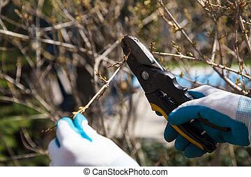 Pruning shrubs - hands in garden gloves holding garden...