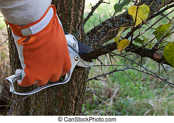 Pruning tree - Pruning fruit trees by pruning shears
