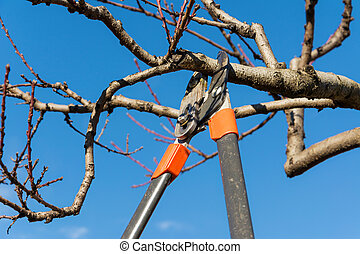 pruning tree - Pruning peach-tree brunch with a pruning...