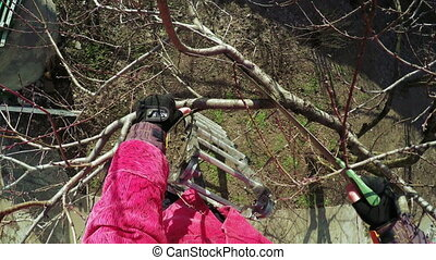Pruning trees winter - Man cuts sawing trees and scissors