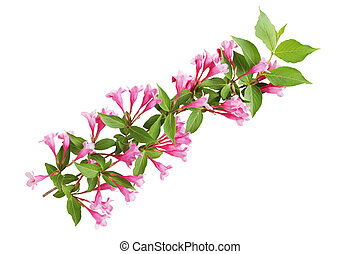 Pruning Weigela - Pruning weigela flowers on branch isolated...