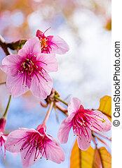 prunus, cereza, chiangmai, árbol., sakura, himalayan, salvaje, tailandia, cer