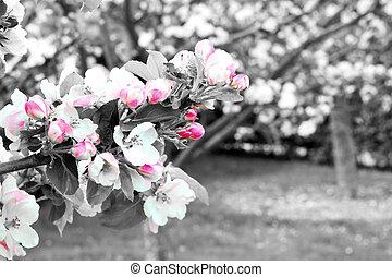 Prunus genus - Pink Cherry Blossom flower on a warm spring ...