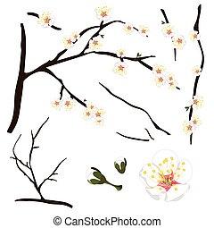 Prunus mume - White Chinese plum, Japanese apricot flower,...