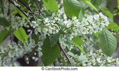 Prunus padus, known as bird cherry, hackberry, hagberry, or ...